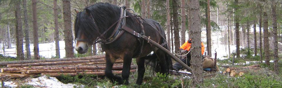Skogsarbete med häst